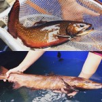 Brook Trout and Atlantic Salmon caught while collecting broodstock
