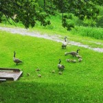 Geese at Mooney's Pond