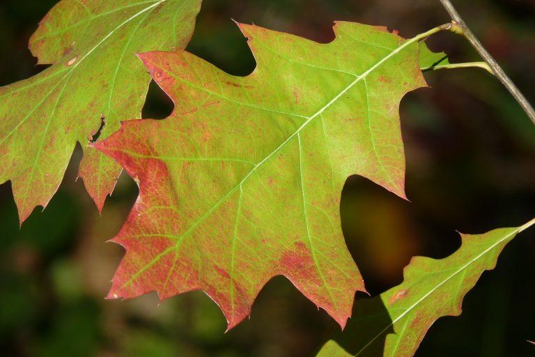 leaf, red oak, american