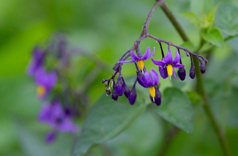 wild flower, petals, dew